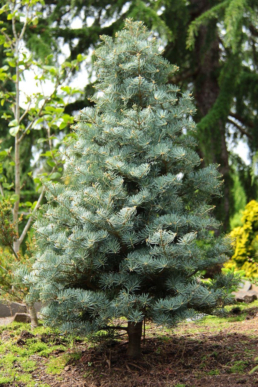 Abies concolor Archers Dwarf fir evergreen conifer compact blue needles pyramidal
