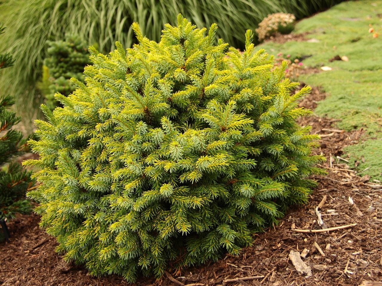 Picea omorika Peve Tijn evergreen conifer blue/green