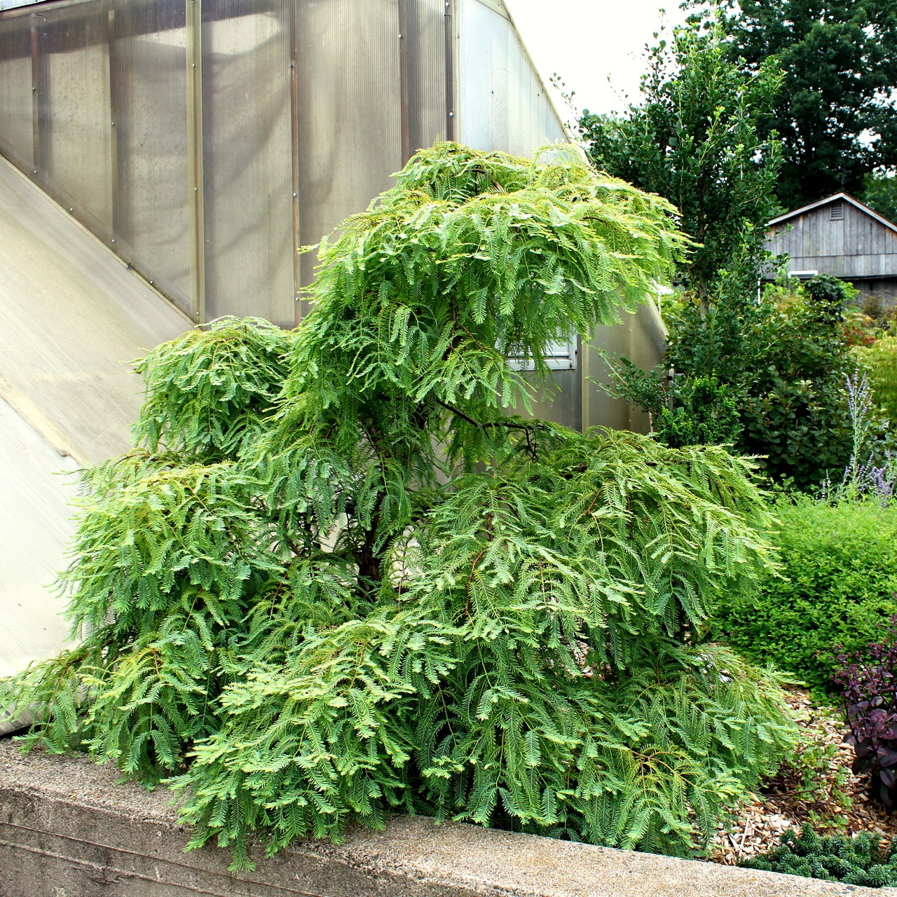 Metasequoia glyptostroboides Miss Grace deciduous conifer weeping green orange