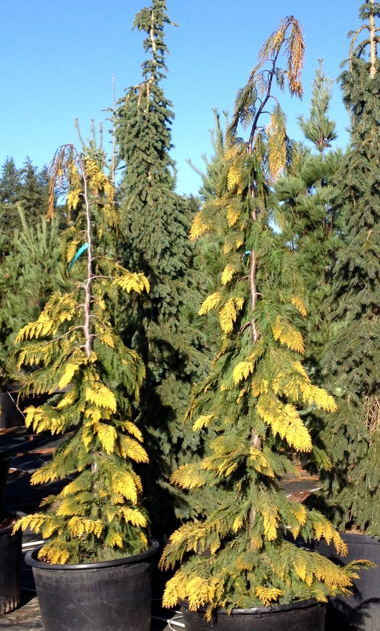 Chamaecyparis lawsoniana Filips Golden tears cypress conifer evergreen narrow upright weeping Lawson gold variegated