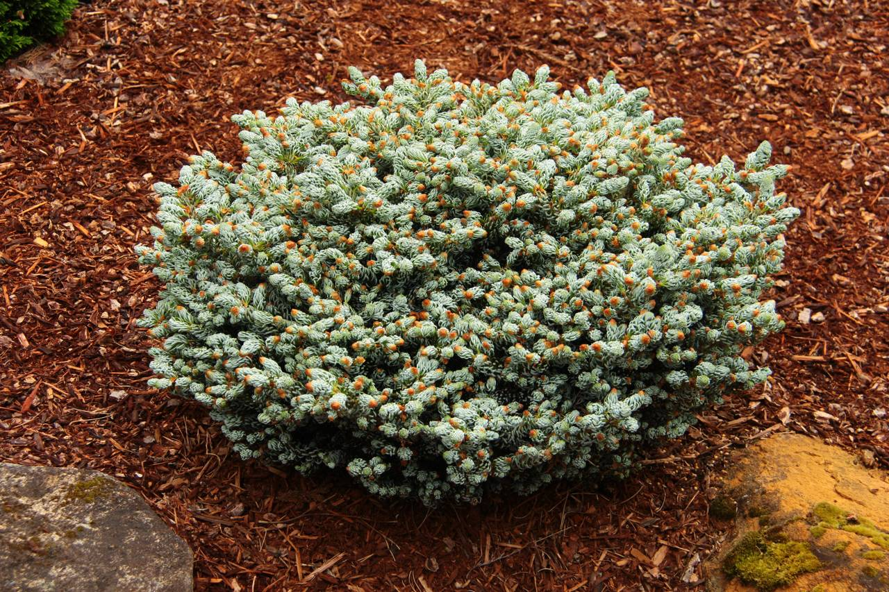 Abies koreana Kohout's Ice Breaker conifer evergreen white