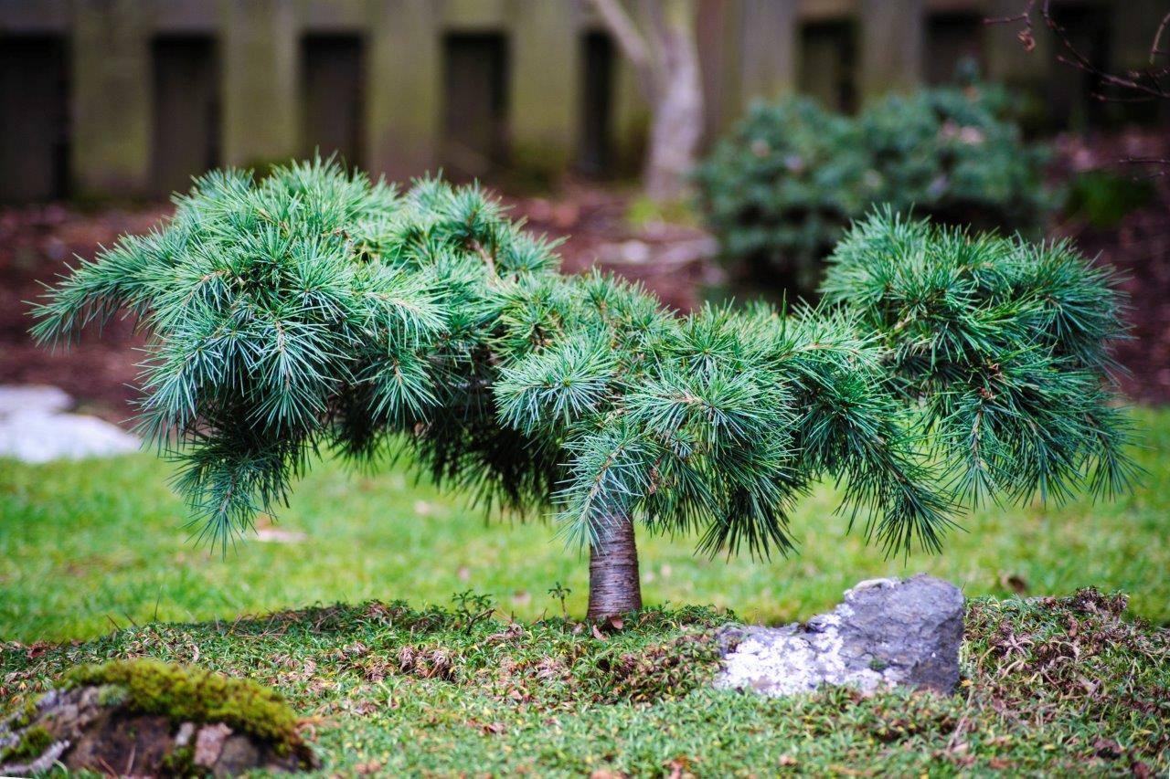 Cedrus libani Katere conifer needles green shaggy miniature