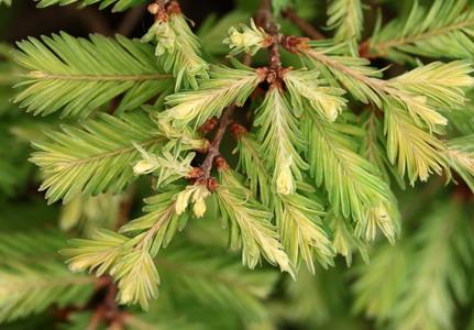 Metasequoia glyptostroboides Schirrmann's Nordlicht deciduous conifer globose yellow
