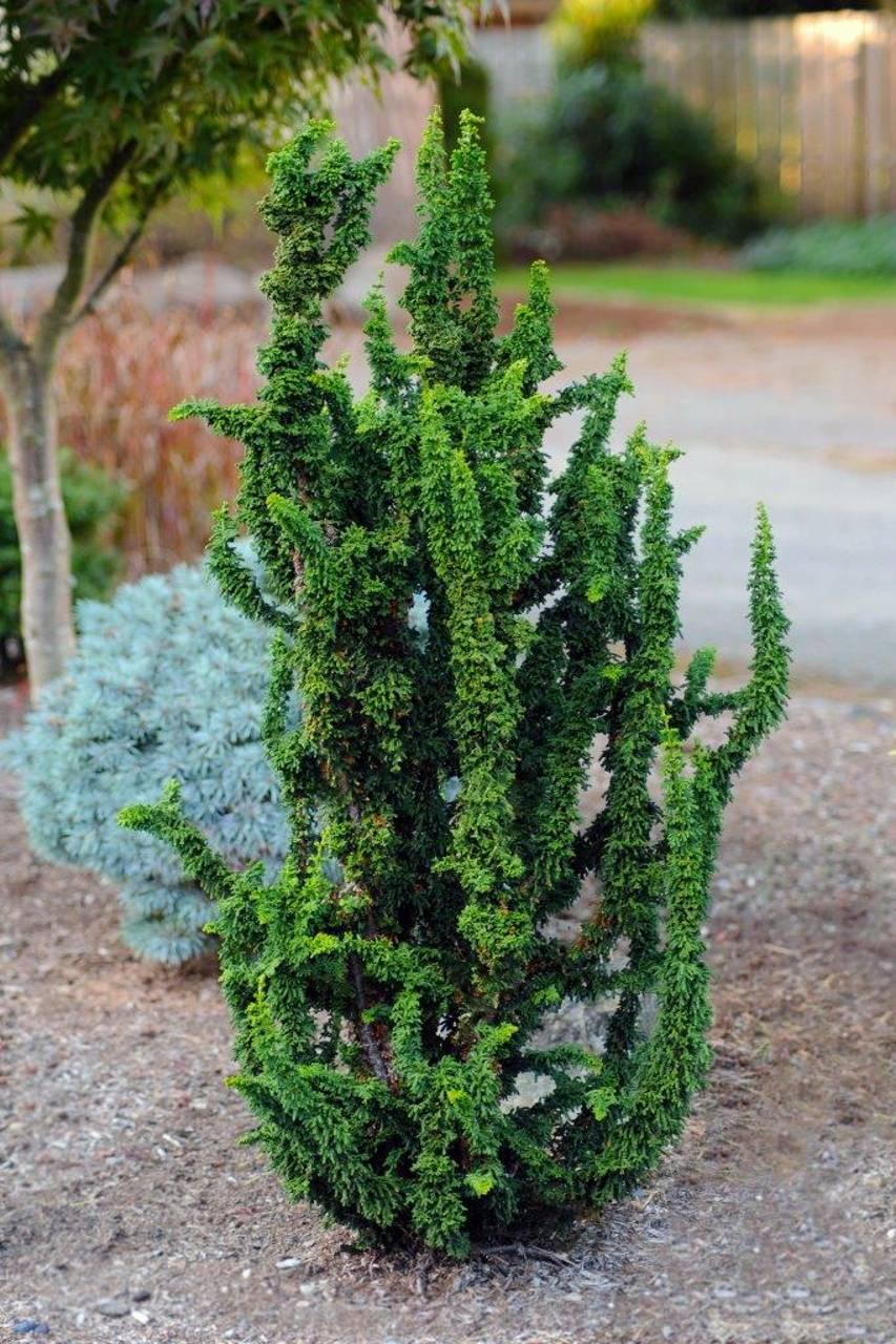 Chamaecyparis obtusa Chirimen conifer green needles structural