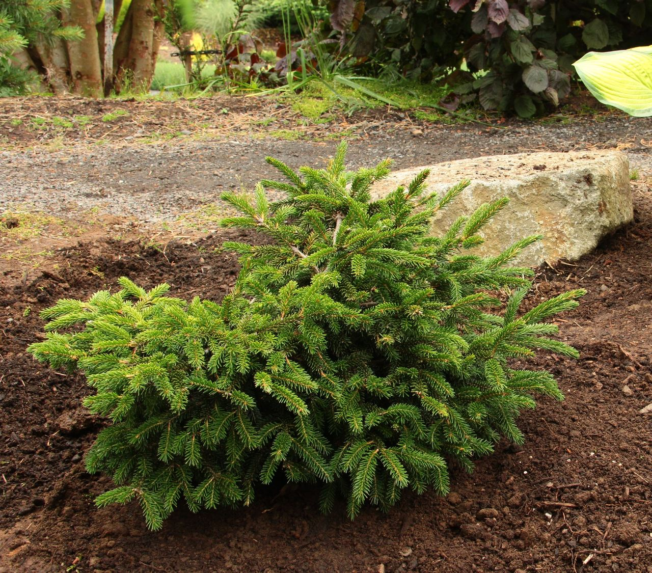 Picea orientalis Ferny Creek Prostrate spruce evergreen conifer flat spreading Caucasian spruce green needles