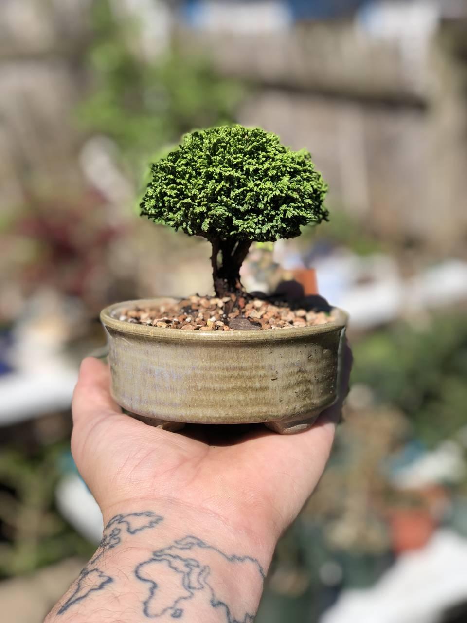 Chamaecyparis pisifera Tsukumo conifer mounding green dense miniature