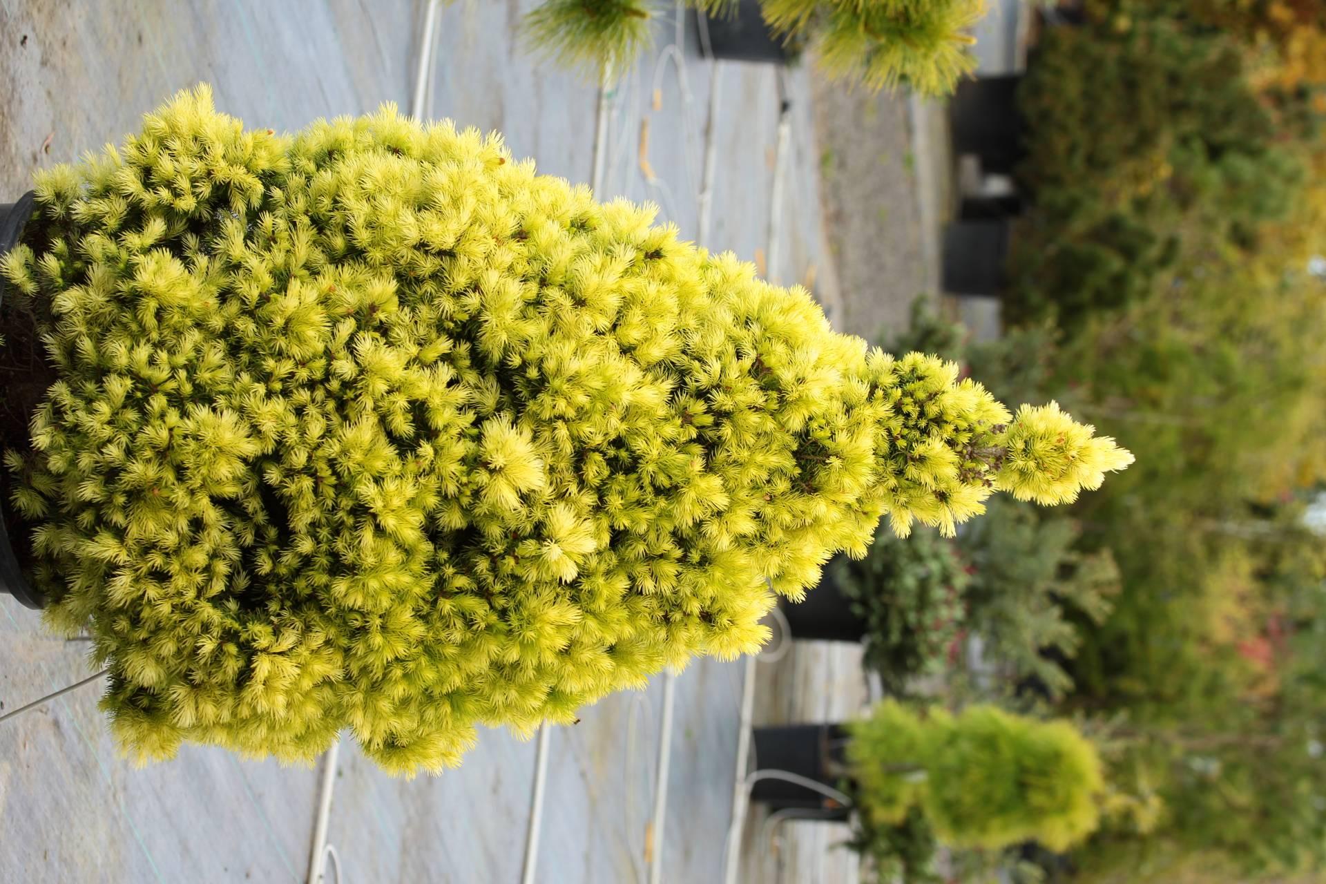Picea glauca Daisy White conifer cone white green