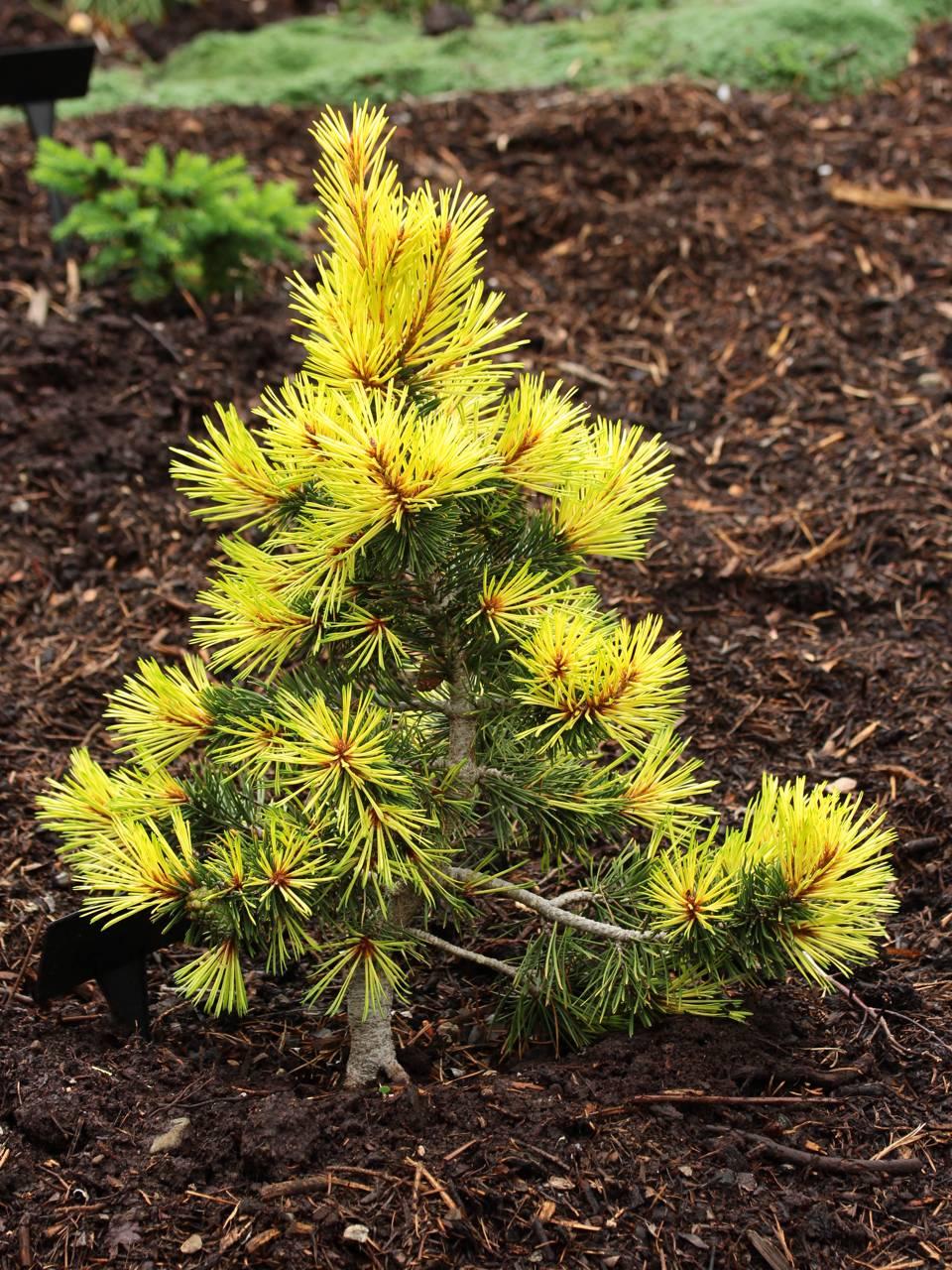Pinus contorta var. latifolia Taylor's Sunburst conifer evergreen yellow conical