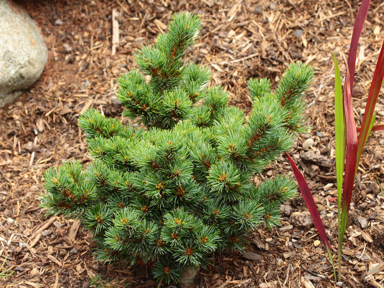 Pinus parviflora Catherine Elizabeth pine conifer evergreen irregular dwarf Japanese White pine blue green twisted needles