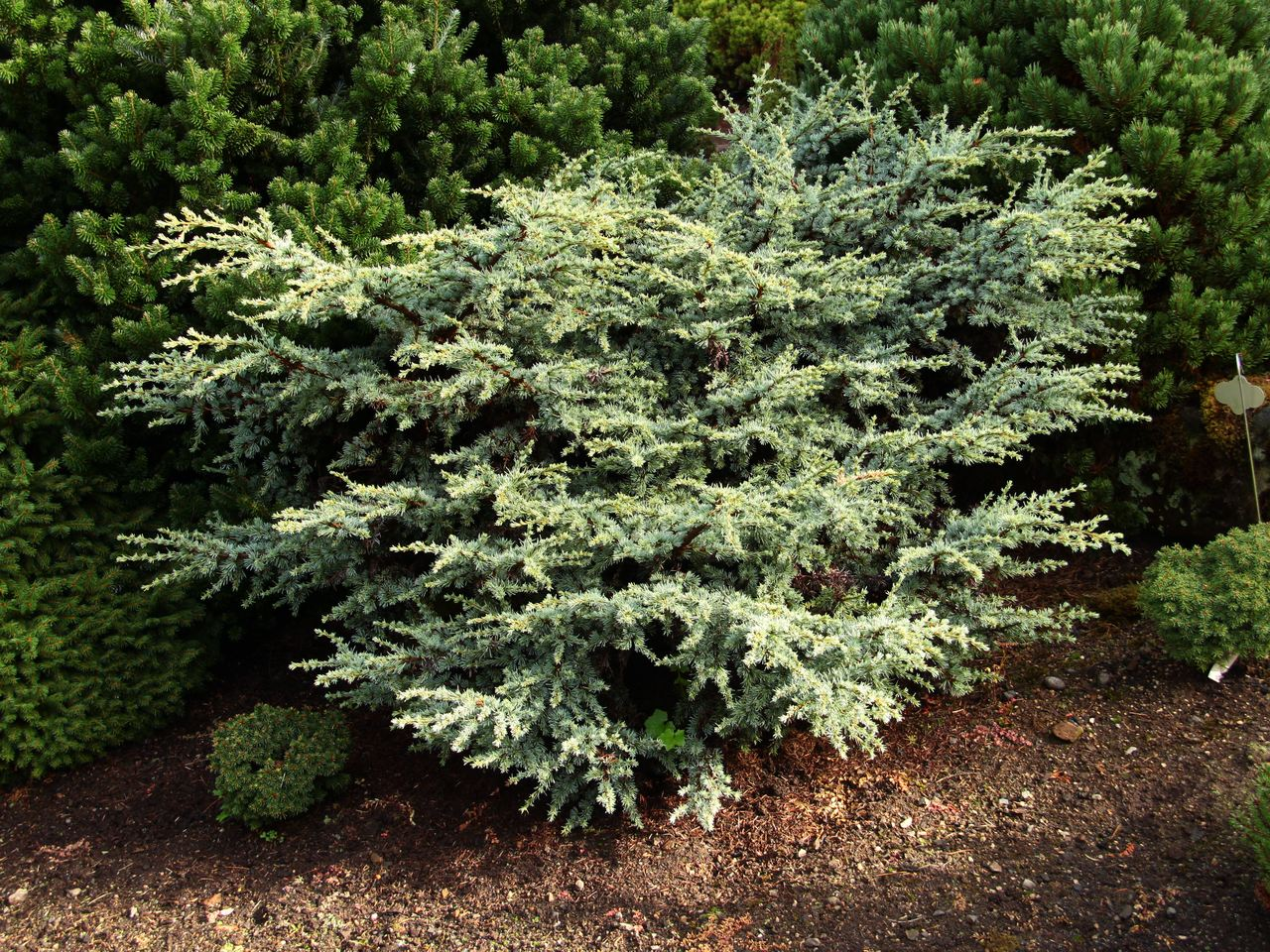 Cedrus atlantica Sapphire Nymph cedar evergreen conifer dwarf prostrate needles blue prickly