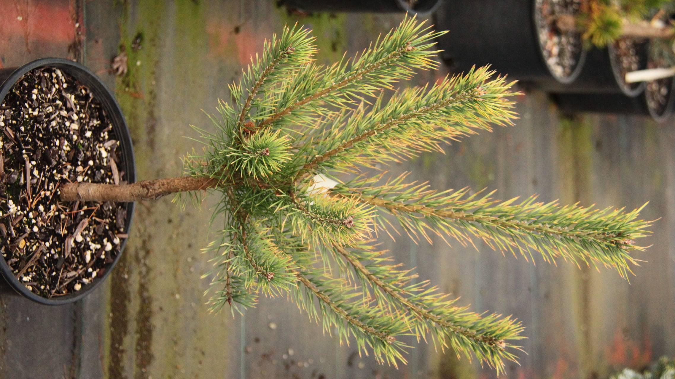 Pinus sylvestris Brentmoor Blonde conifer evergreen yellow