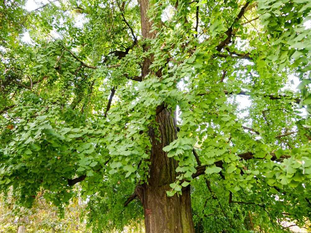 Ginkgo biloba tree green fan-shaped broadleaves