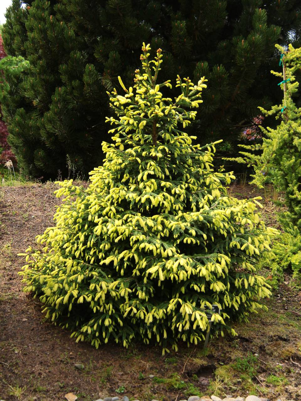 Picea abies Perry's Gold conifer evergreen yellow gold