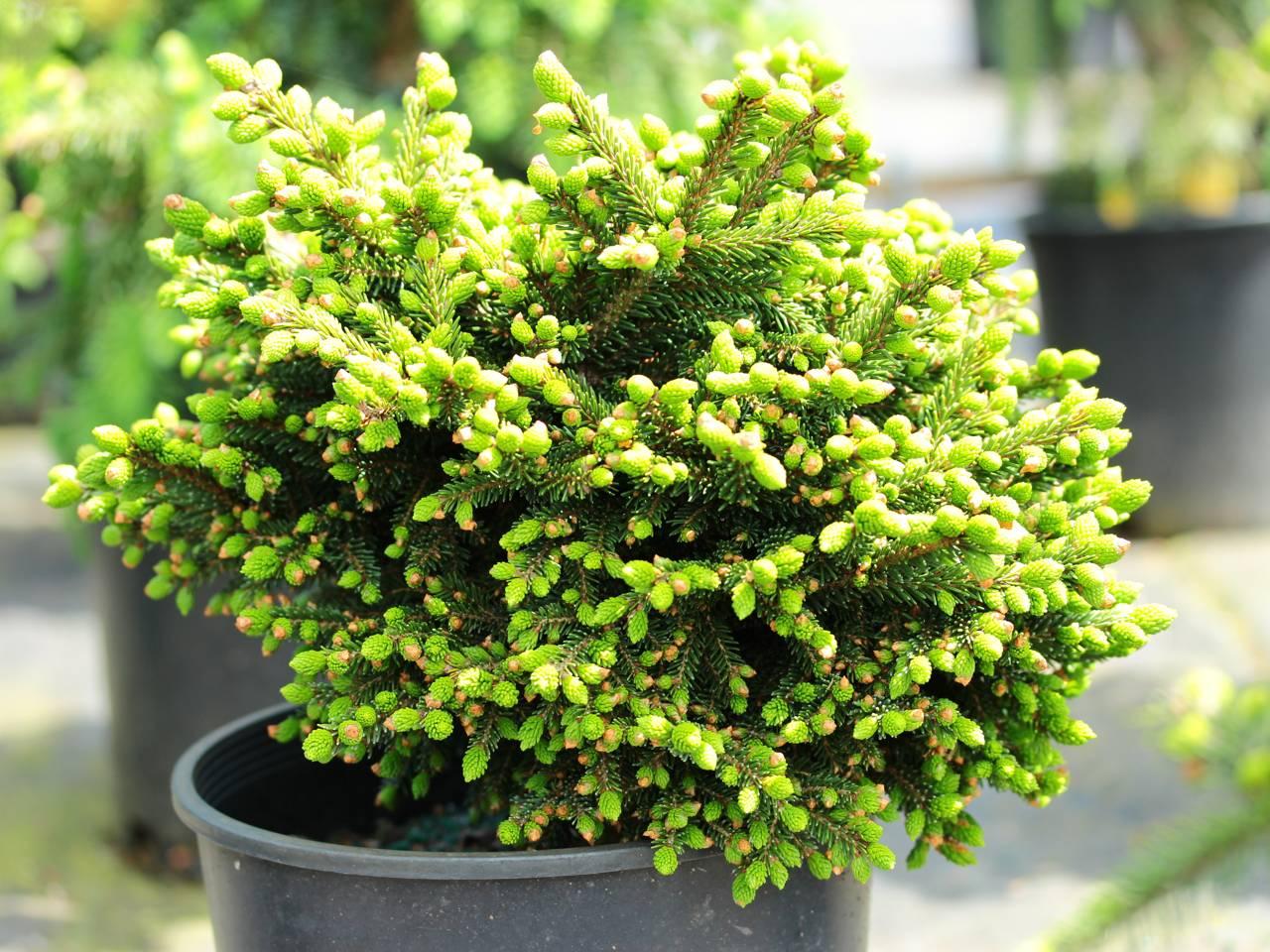 Picea orientalis Mt. Vernon conifer compact green dense mounding small