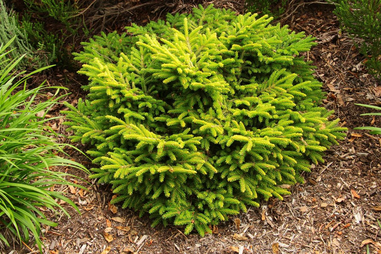 Picea orientalis Tom Thumb Gold conifer gold mounding