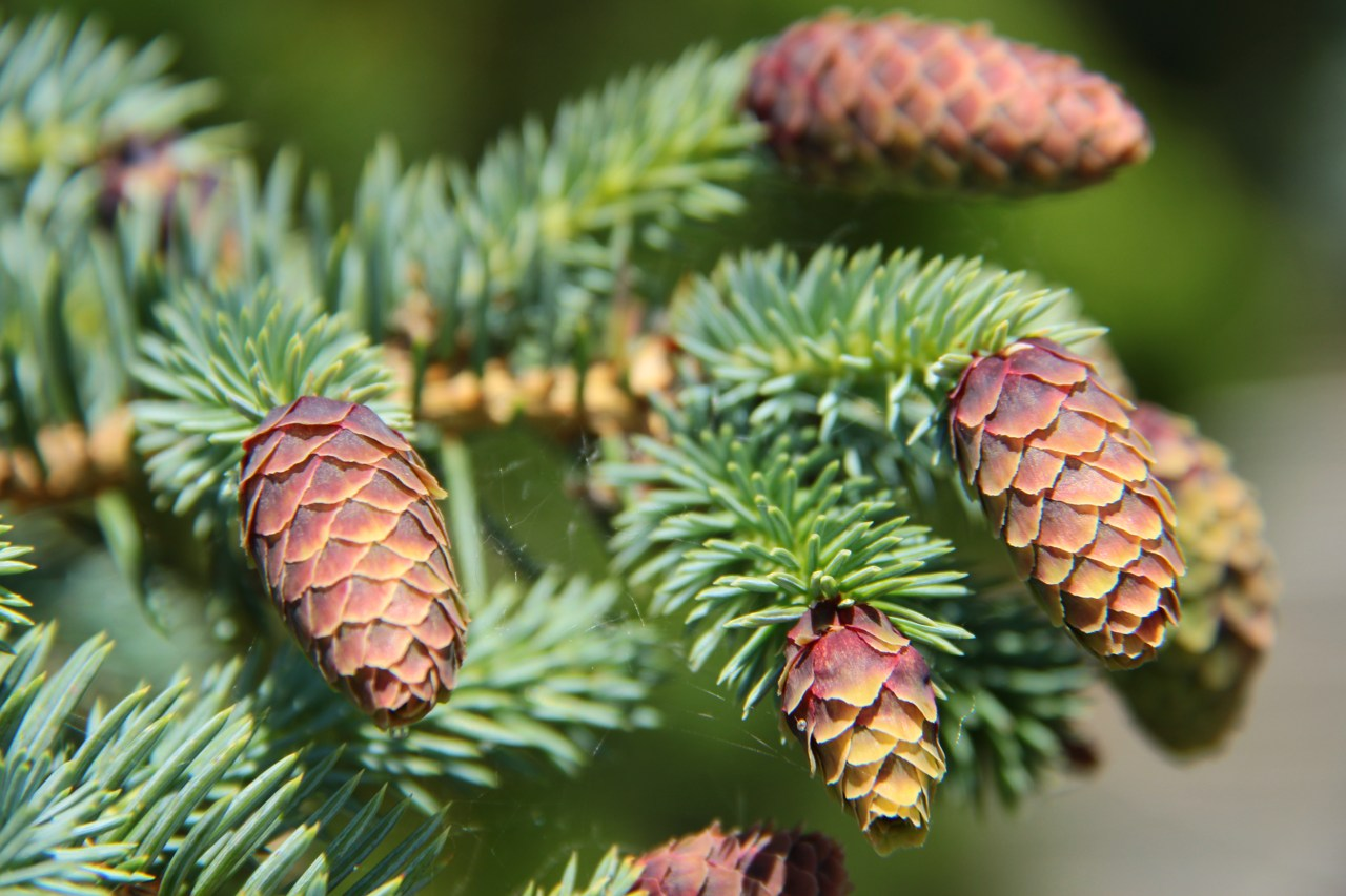 Picea pungens Early Cones Spruce evergreen conifer green needles cones