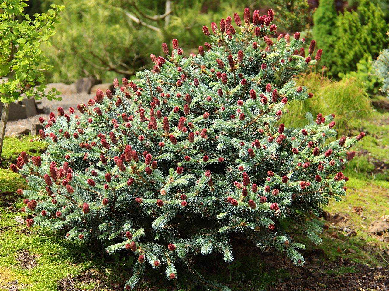 Picea pungens Ruby Teardrops spruce evergreen conifer globose Colorado teal blue seed cones red magenta