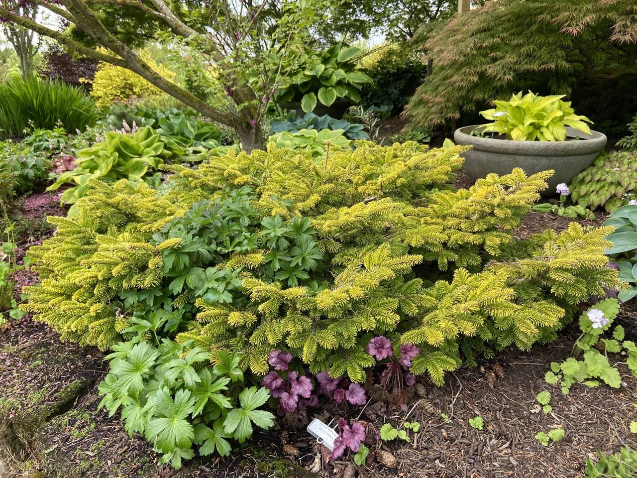 Abies nordmanniana Golden Spreader evergreen conifer gold