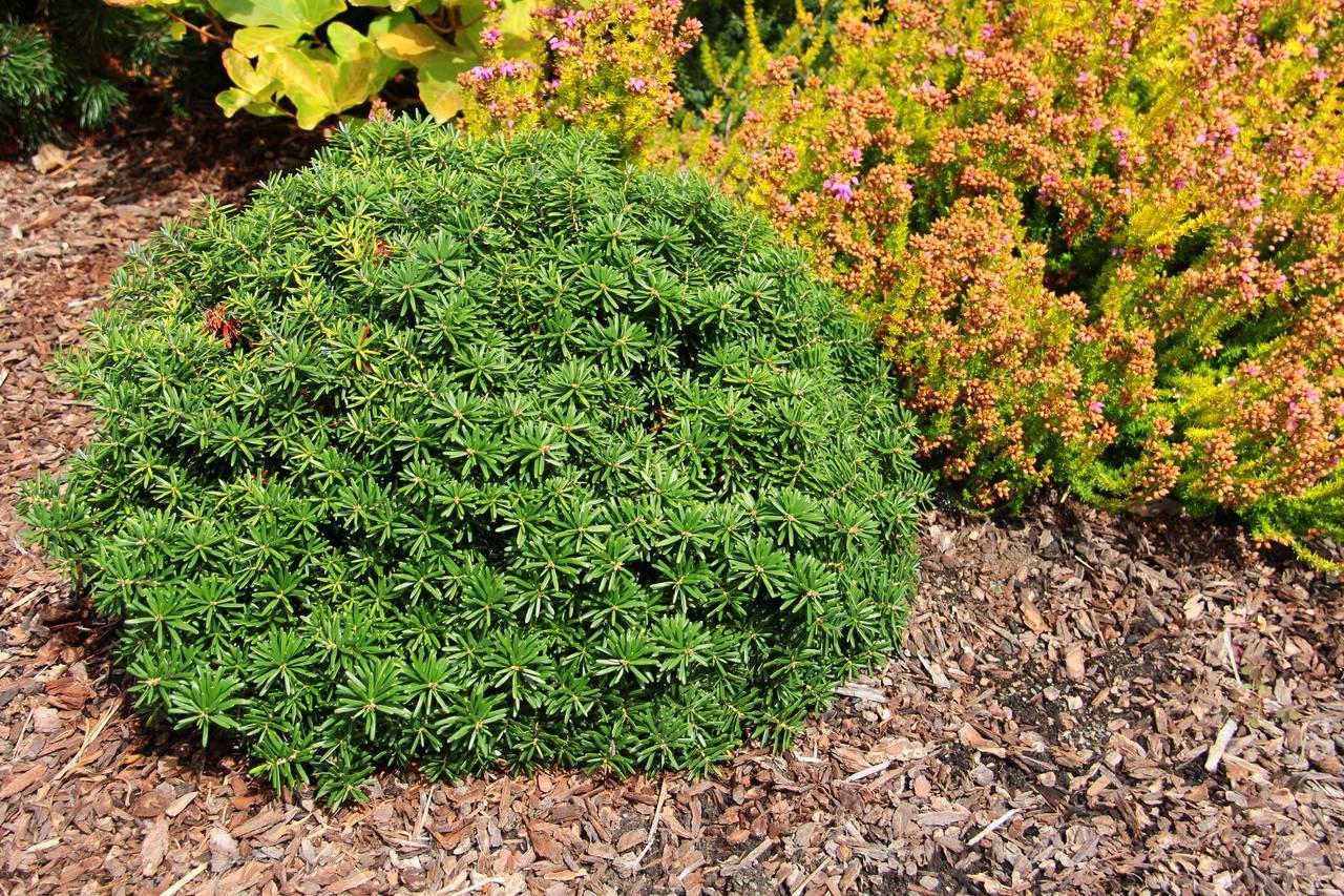 Abies koreana Cis conifers green mounding