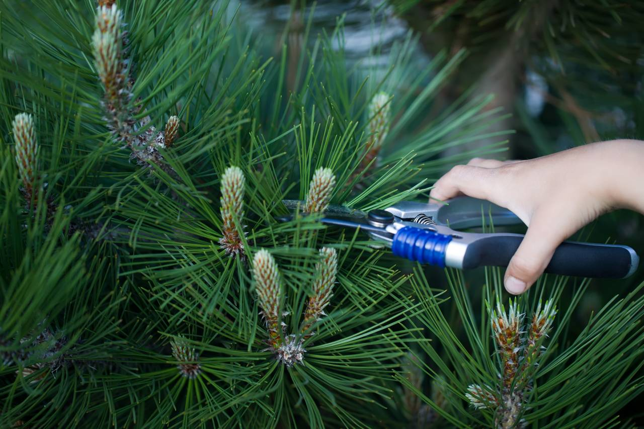 Evergreen pine conifer pruning candles pruning shear shape needles