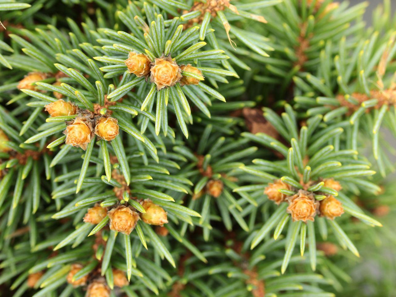 Picea pungens Green Globe spruce evergreen conifer green needles dwarf subalpine