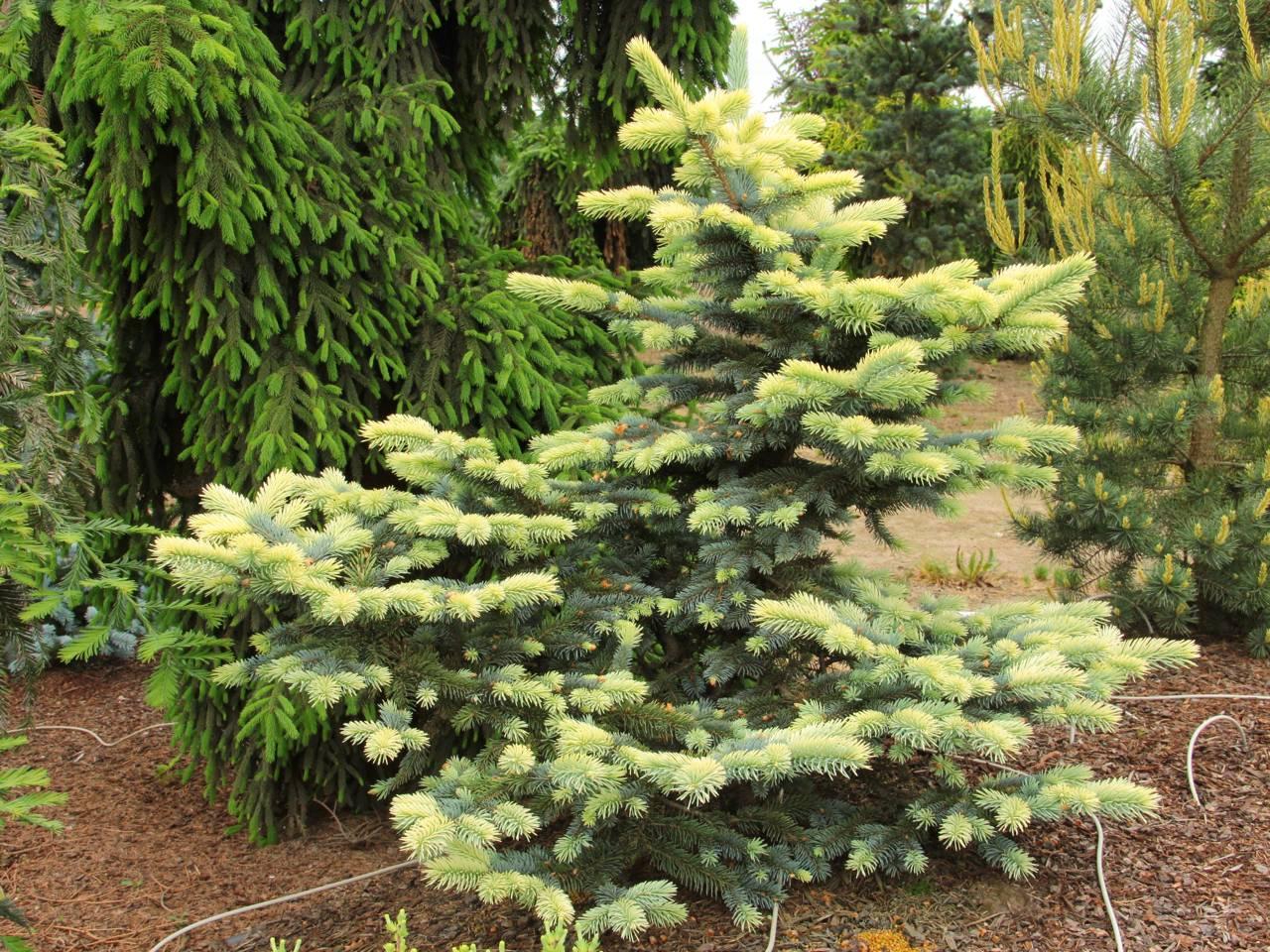 Picea pungens Bialobok yellow conifer evergreen