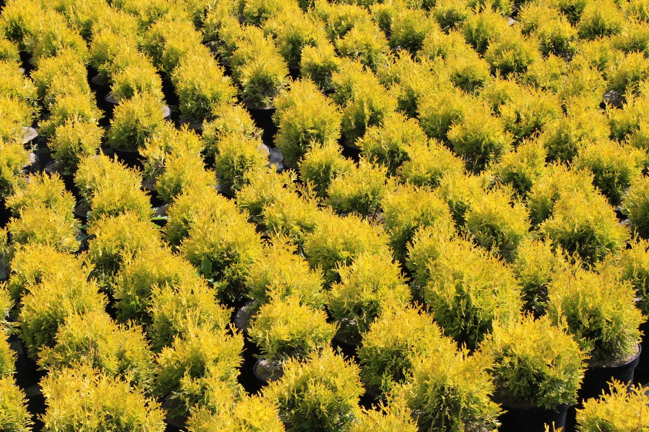 Thuja occidentalis Jantar arborvitae conifer evergreen narrow upright golden needles