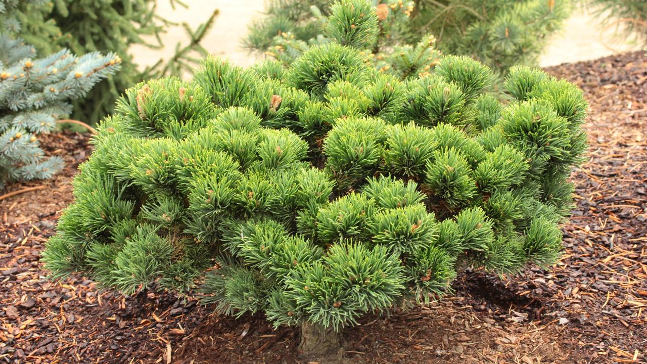 Pinus mugo Jakobsen conifer green miniature