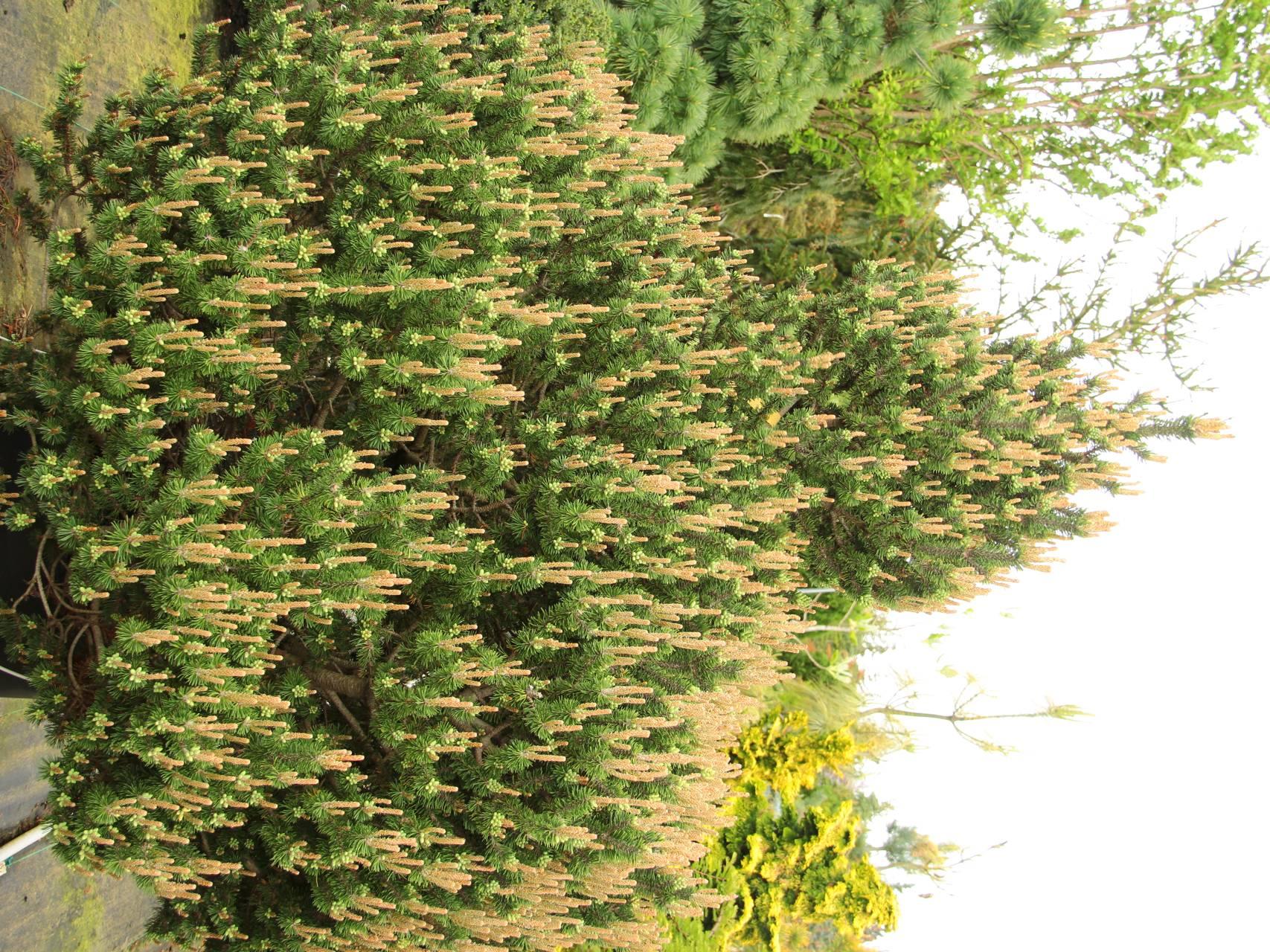 Pinus mugo Paul's Dwarf conifer green upright open cone