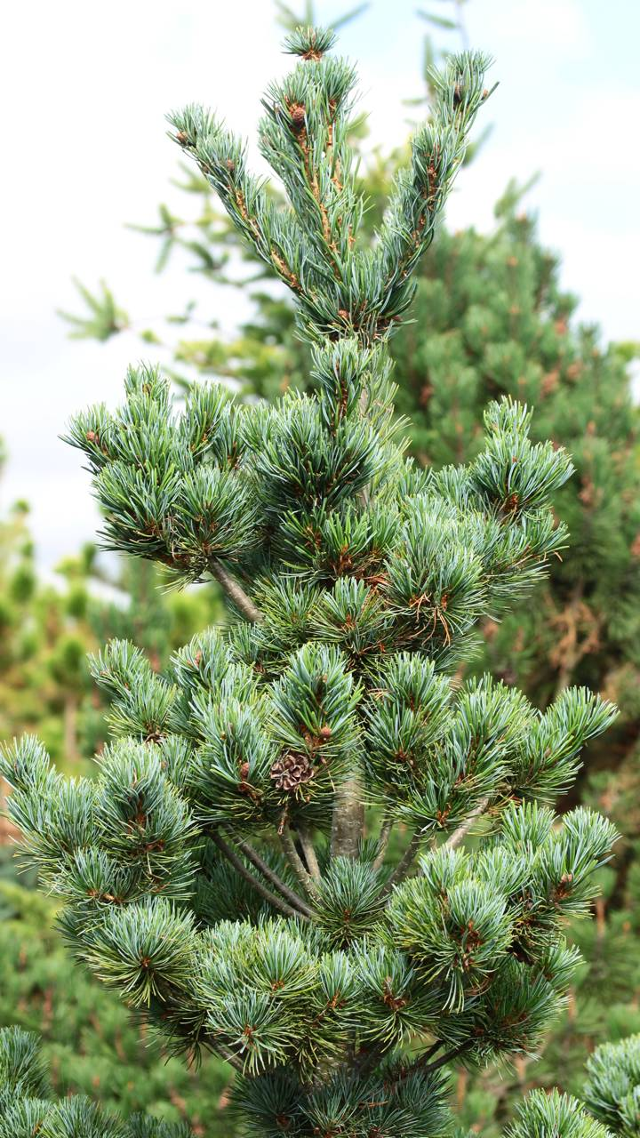 Pinus parviflora Aoi conifer blue silver needles red cones upright structural
