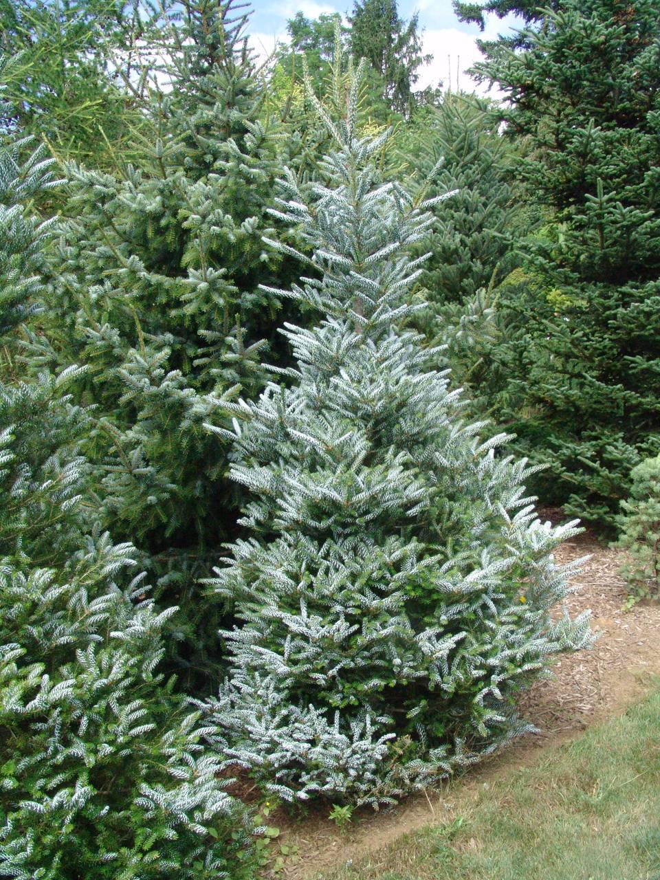 Abies koreana Horstmann's Silberlocke conifer evergreen cones white