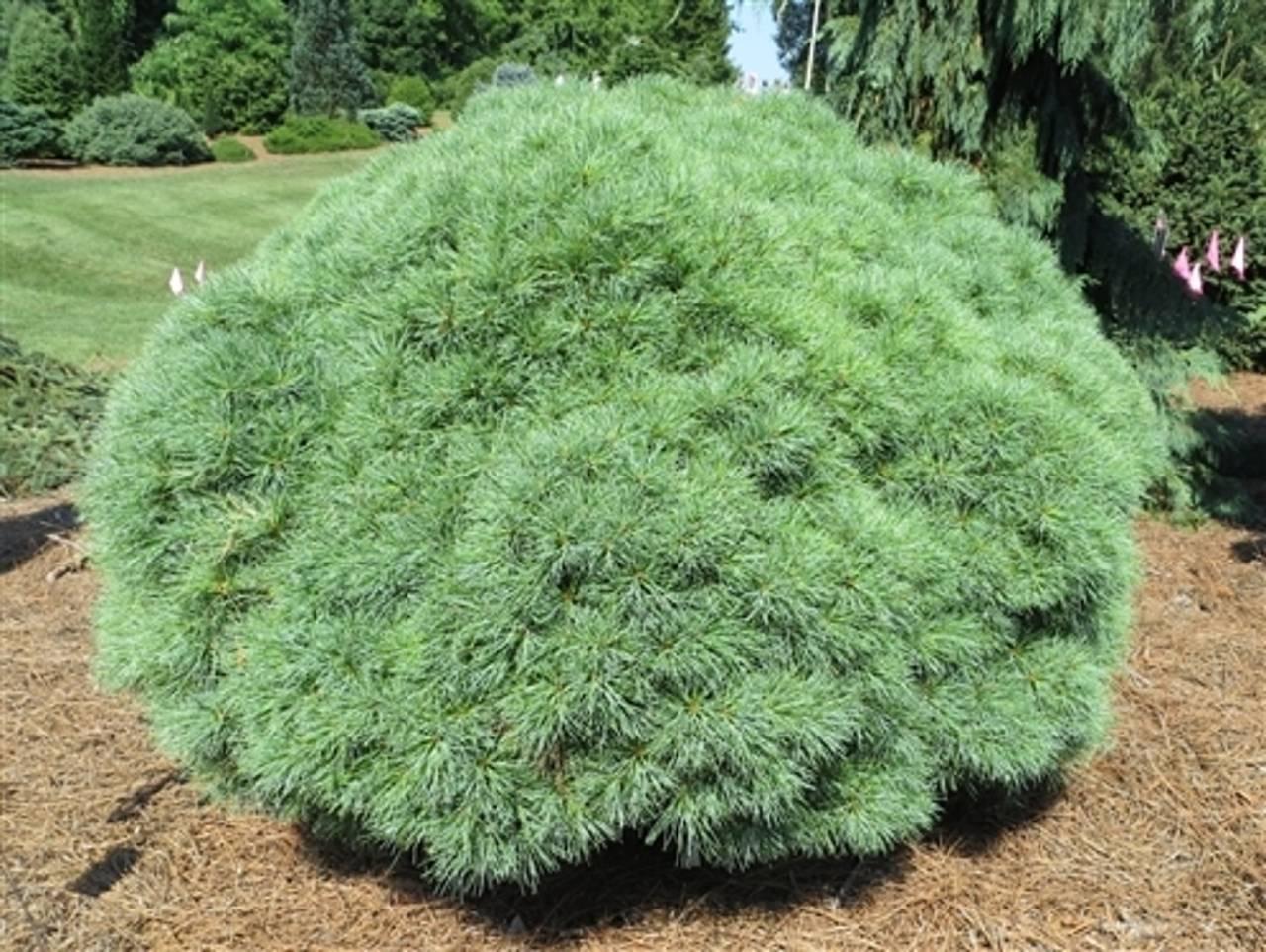 Pinus strobus Sea Urchin conifer blue green compact mounding