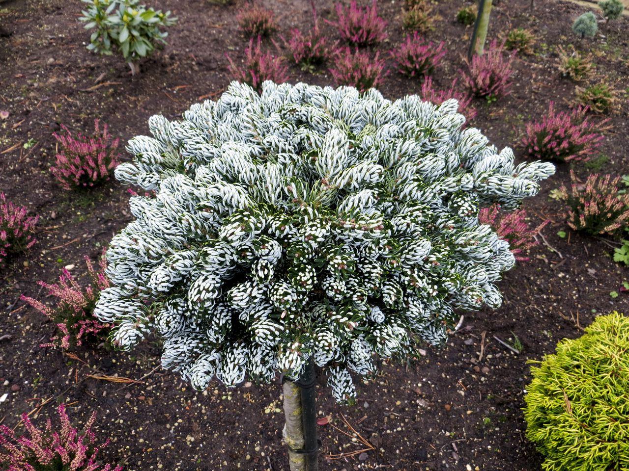 Abies koreana Icebreaker fir conifer evergreen Korean green white silver recurved needles miniature globose