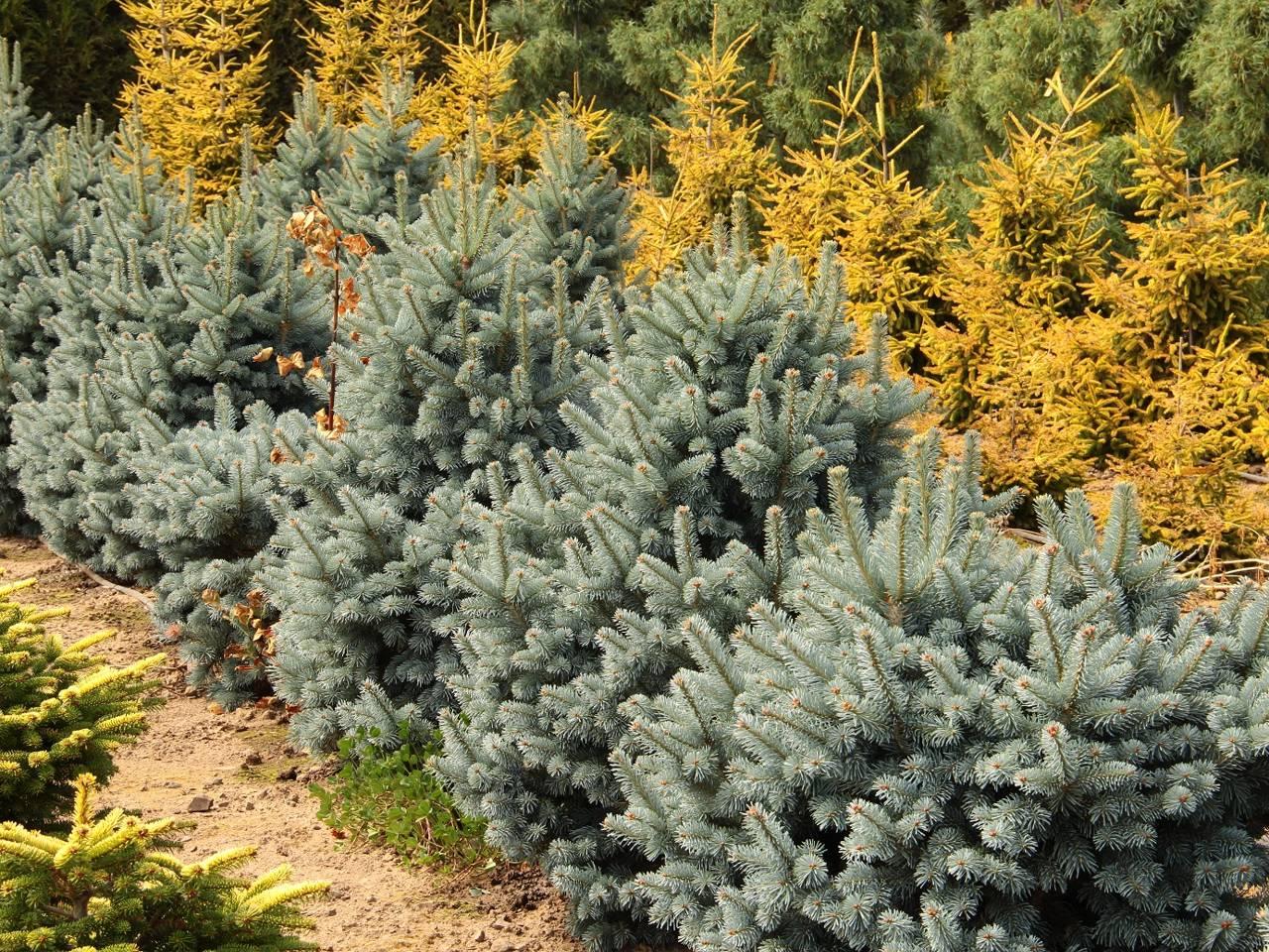 Abies lasiocarpa Glauca Compacta conifer evergreen cones green blue