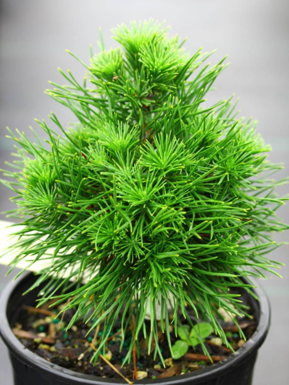Pinus sylvestris Green Penguin conifer green upright cone