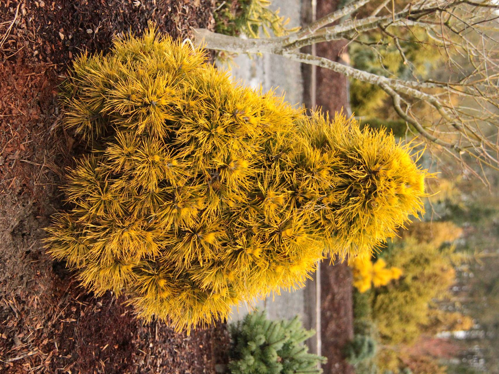 Pinus sylvestris Moseri conifer color shaggy yellow gold