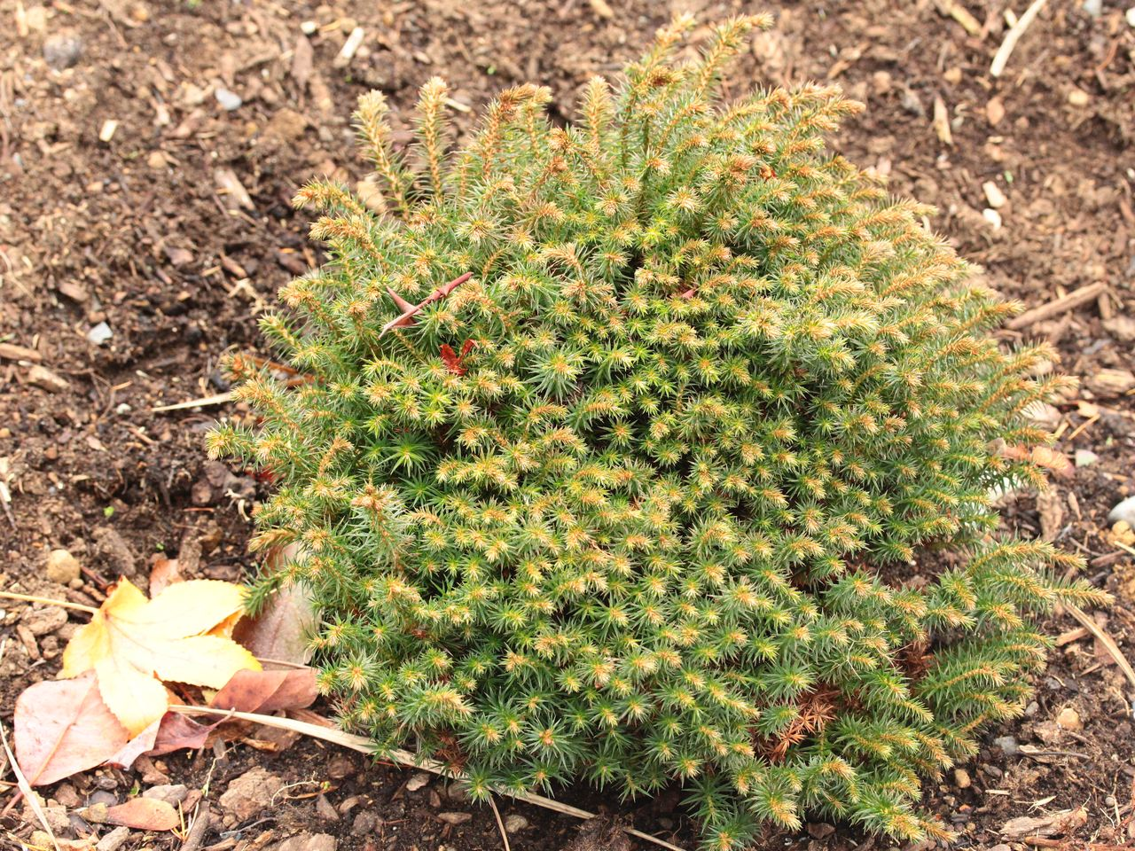 Cunninghamia konishii Little Leo Taiwan coffin fir conifer evergreen miniature cushion round