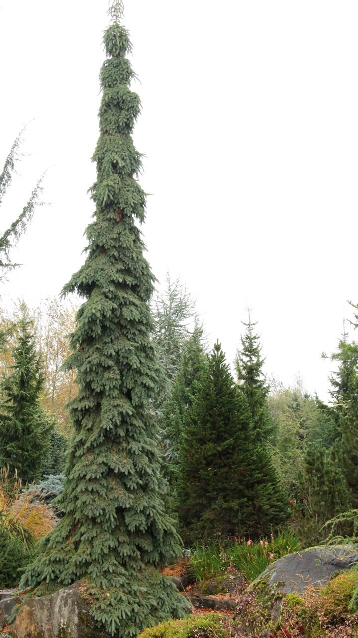 Picea glauca Pendula conifer evergreen weeping green blue