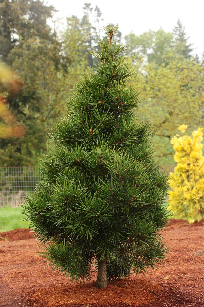 Sciadopitys verticillata Picola fir evergreen conifer Japanese Umbrella Pine green needles pyramidal miniature
