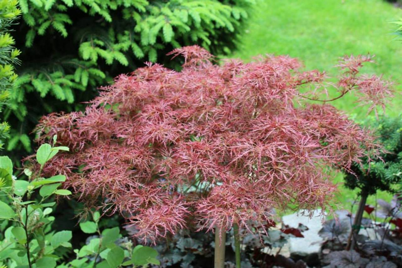 Acer palmatum Baby Lace Japanese maple laceleaf color red