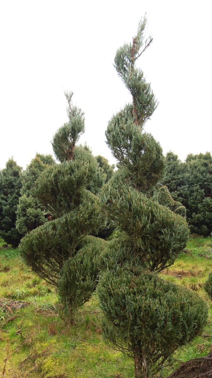 Juniperus scopulorum Skyrocket evergreen conifer pruning shape spiral formal