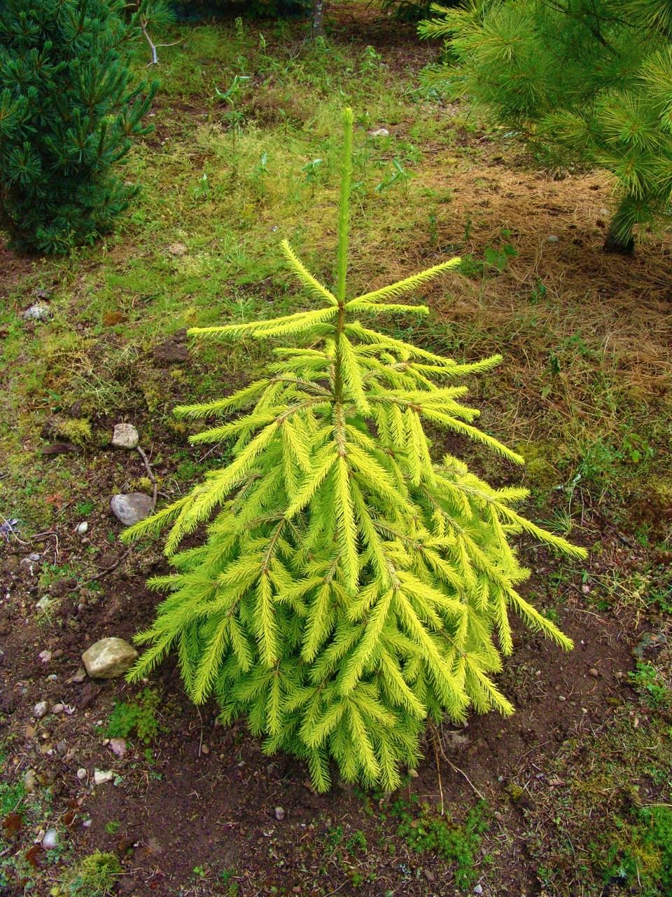 Picea abies Lemon Joy evergreen conifer golden