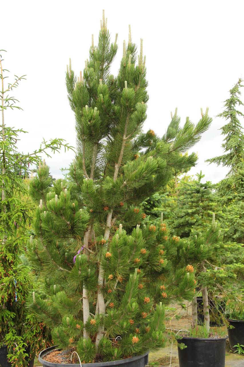 Pinus heldreichii leucodermis Satellit evergreen conifer green