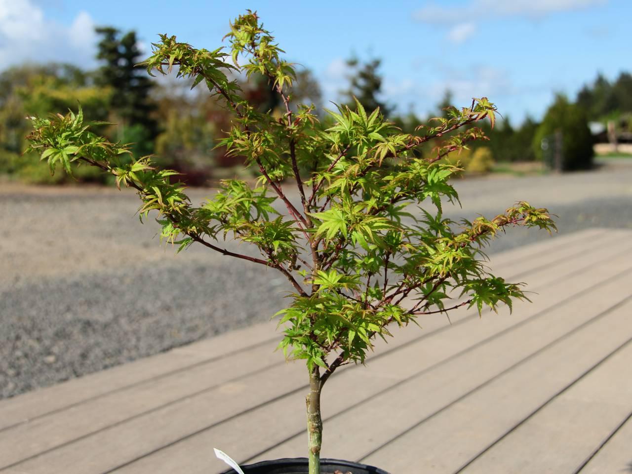 Acer palmatum Sharp's Pygmy Japanese maple leaves tiny whimsical open