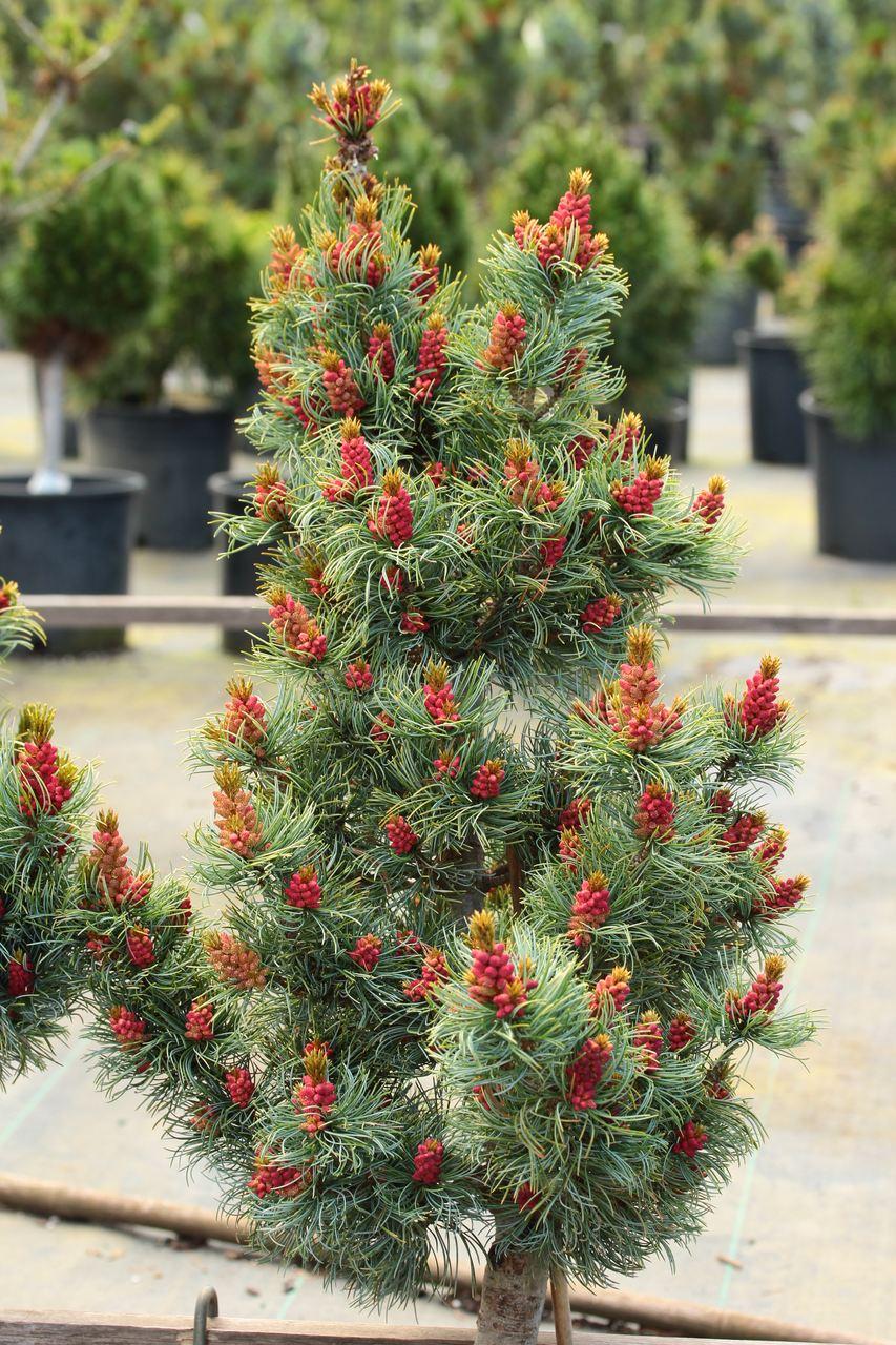 Pinus parviflora Bergman pine evergreen conifer compact Japanese white pine silver blue twisted needles