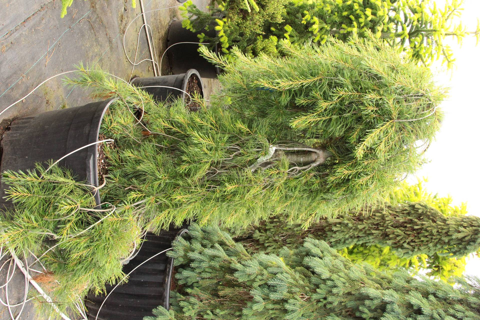 Pinus strobus Blue Maltese conifer evergreen weeping blue