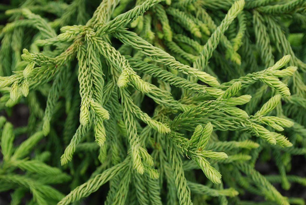 Cryptomeria japonica Spiralis conifer green upright needles