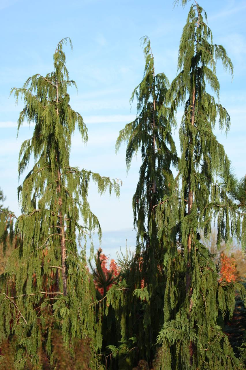 Cupressus nootkatensis Glauca Pendula conifer evergreen unique forms green blue