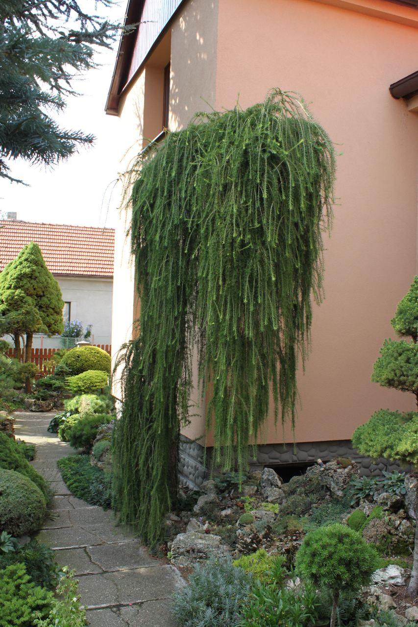 Larix decidua Puli European Larch conifer deciduous green lacy foliage yellow needles fall