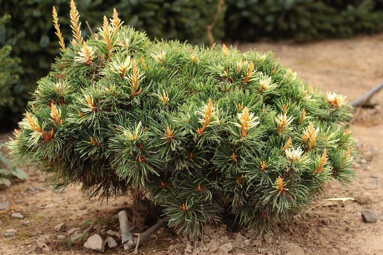 Pinus parviflora Tanima-no-yuki conifer white pink grey candles